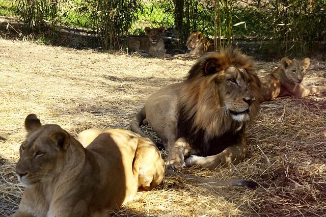 Five Lions