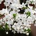 Small photo of Cherry plum flowers