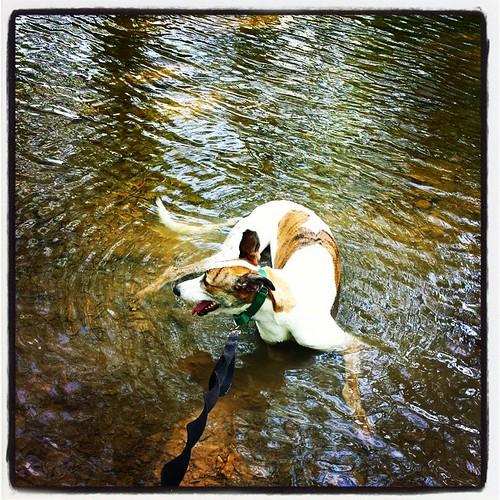Water dog #Cane #DogsOfInstagram