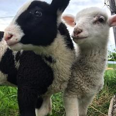 Happy to welcome our 2 new additions to the #farm #lambs #babies #baaaaaaaa