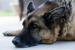 puppy(0.0), norwegian elkhound(0.0), dog breed(1.0), german shepherd dog(1.0), animal(1.0), dog(1.0), pet(1.0), street dog(1.0), mammal(1.0), tervuren(1.0), police dog(1.0), wolfdog(1.0), close-up(1.0), saarloos wolfdog(1.0), east-european shepherd(1.0),
