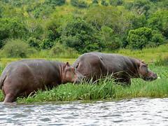 Hippos (Hippopotamus amphibius) leaving the water