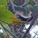 Yellow Warbler (Tom Mabbett 2016 tour)