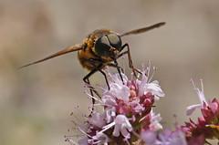 Pangonie brillante (Pangonius micans), Meyrueis, Gorges de la Jonte, France
