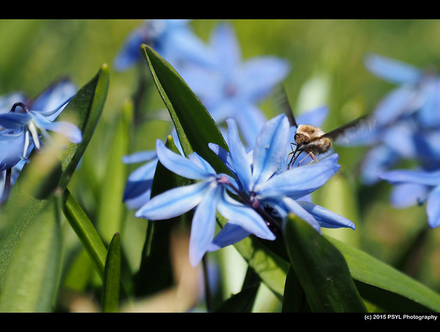 Greater Bee Fly (Bombylius major) visiting Siberian squill