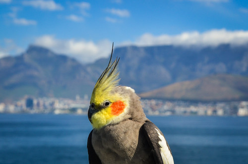 Bird (cockatiel) posing at sea in front of Table Mountain, Cape Town