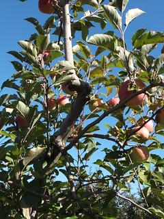 Mercier Orchard