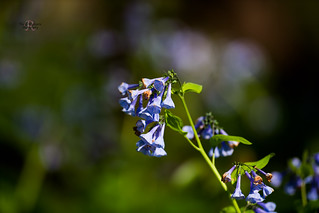 Blue Bell Wildflower