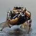 Male Hyllus Semicupreus by karthik Nature photography