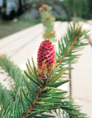 arecales(0.0), christmas tree(0.0), twig(0.0), evergreen(1.0), flower(1.0), branch(1.0), leaf(1.0), tree(1.0), plant(1.0), flora(1.0), conifer cone(1.0), spruce(1.0),