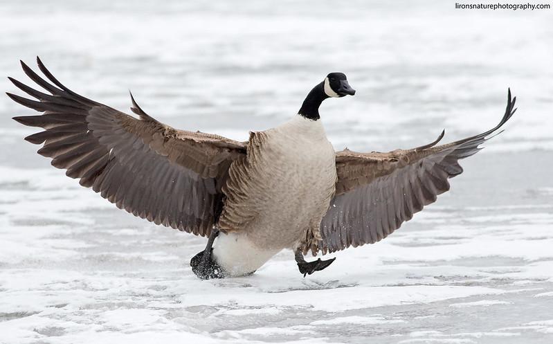 Canda Goose landing on ice