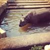 Greater one horned rhinoceros, aka a unicorn.