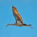 Backlite Sandhill Crane In-Flight by C E Andersen