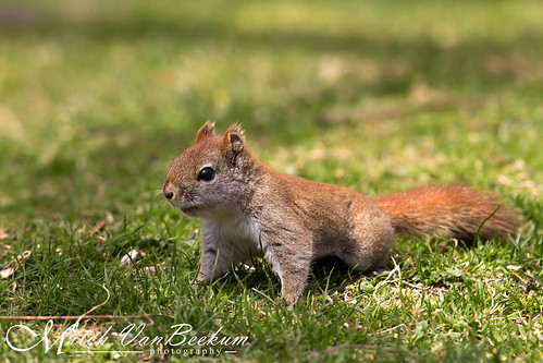 red newjersey squirrel nj juvenile hackettstown tamiasciurushudsonicus americanredsquirrel canonef500mmf4lisiiusm canoneos1dx canon14teleconvertermkiii mitchvanbeekum