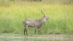 deer(0.0), hartebeest(0.0), grazing(0.0), white-tailed deer(0.0), kudu(0.0), elk(0.0), animal(1.0), prairie(1.0), antelope(1.0), mammal(1.0), waterbuck(1.0), fauna(1.0), grassland(1.0), safari(1.0), wildlife(1.0),