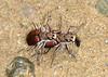 """Tiger beetles """"mate-guarding"""""""