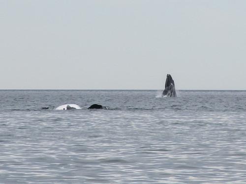 Puerto Madryn: baleines en vue depuis la plage