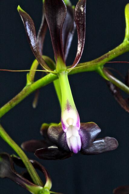 Epidendrum-melanoporphyreum 16576242303_14502d8ec0_z