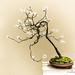 Bonsai by Steve1949