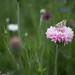 Moth(?) on Flower