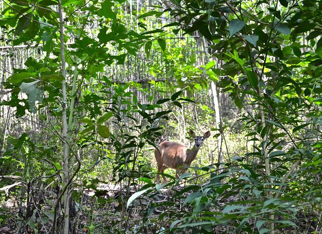 deer sanctuary - Green Rush Nature Park, Guatemala