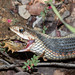 Valley Gartersnake (Thamnophis sirtalis fitchi) with lunch by Spencer Dybdahl Riffle