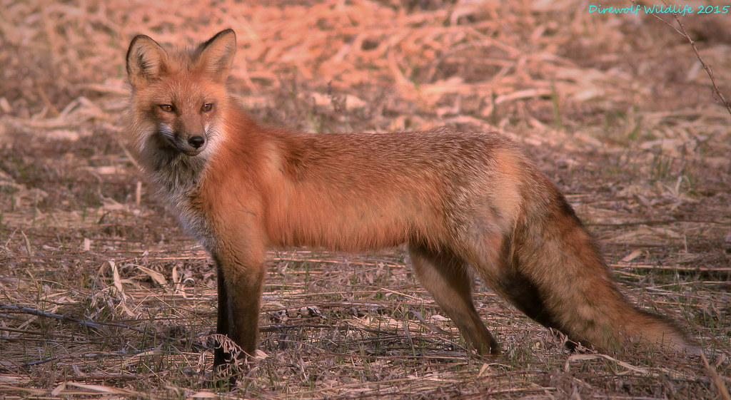Tough lighting but great resolution of a posing Red Fox(male)