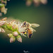 portrait of a bee #SaveTheBees