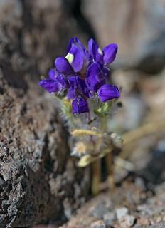Desert Lupine (Lupinus shockleyi)