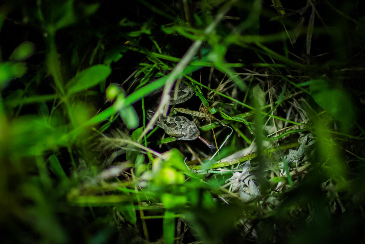 La Yarará (Bothrops mattogrossensis) se oculta en el pastizal, aguardando pacientemente el paso de alguna rana para cazarla y alimentarse con ella. Hemos notado que en los días posteriores a las abundantes lluvias se incrementa la actividad de estos animales. (Elton Núñez).