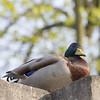 Duck D'Orleans 240410 CMC (15)