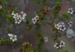 Baeckea utilis, Polblue Swamp, Barrington Tops National Park, NSW, 07/02/15