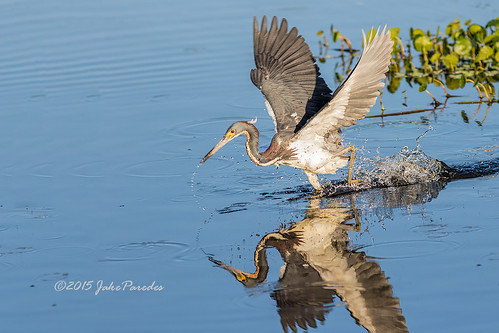 Tricolored Heron foraging