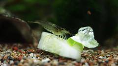 Amano shrimp eat cucumber