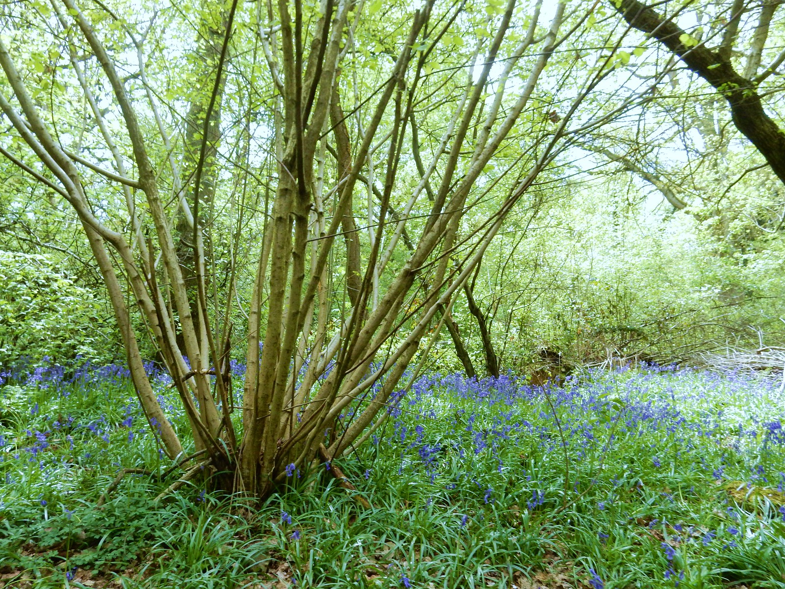 Coppice with bluebells Whyteleafe to Woldingham