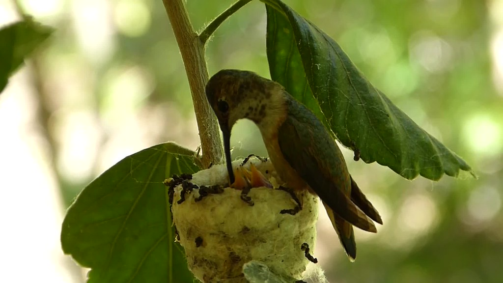 Baby Hummingbird Feeding (video)