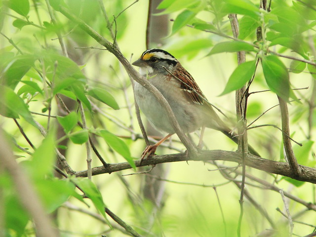 White-throated Sparrow eBird 20150506