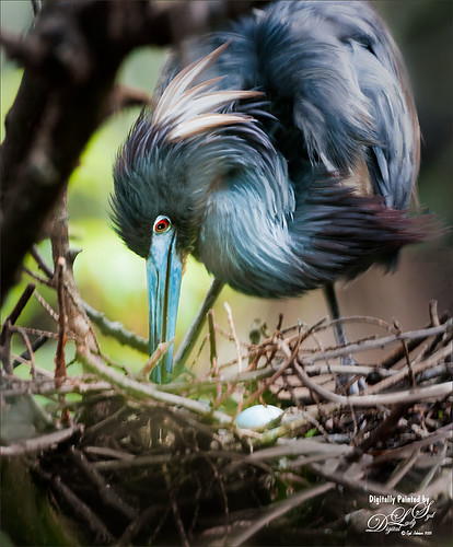 Image of a Blue Heron in her nest with egg