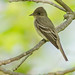 Willow Flycatcher by digiphotonut