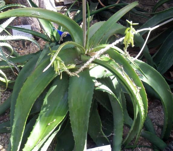 Aloe tomentosa 17079729676_97fa3d99b8_o