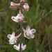 Delphinium hesperium subsp. pallescens: Ranunculaceae by digitaldi