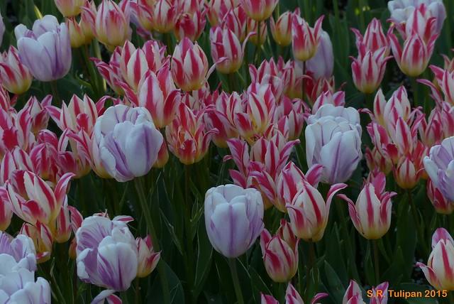 Britzer Garten Tulipan 06.05.2015  108