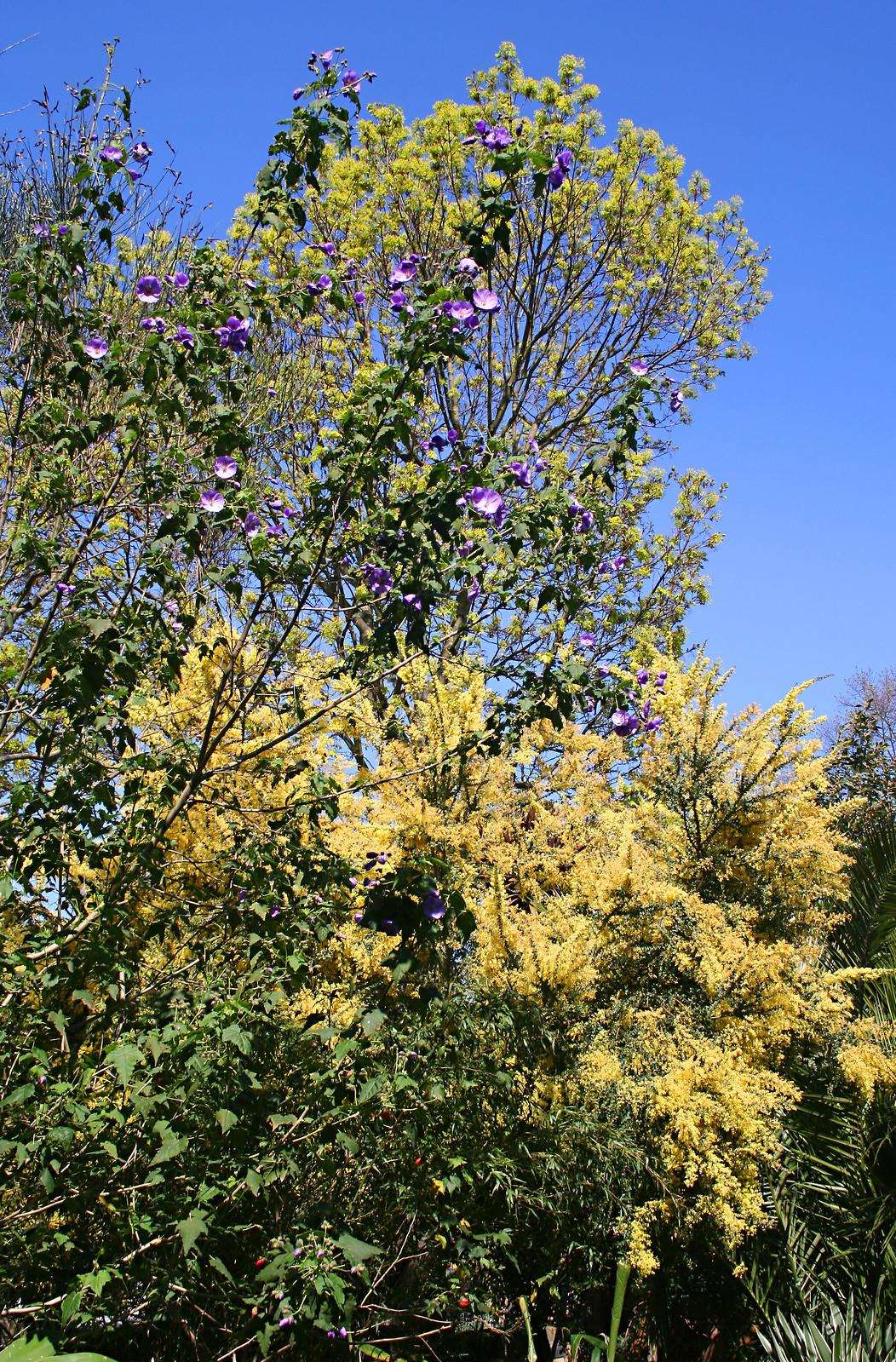 Growingontheedgenet View Topic Acacia Pravissima