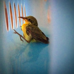 #NewBorn #Female #Lotens #Sunbird #Baby #untouched fell from the #hanging nest and was #rescued from the cat cage. Parents flew off during the #sunset, so left us a #responsibility to hover and feed water from spoon. However a #sweet #friend suggested to