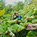 In the jungle of umbrella leaf  (Petasites amplus) by Tatters ❀