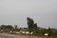 Keteku cattle and Fulani herdsman, Kaduna, Nigeria. #JujuFilms
