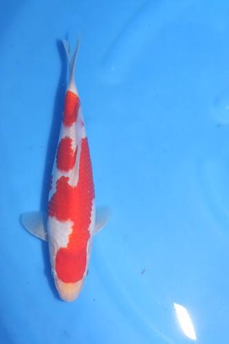 Momotaro Kohaku Mako bloedlijn