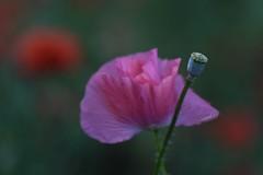 Pink Dawn Poppy