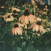 Echinacea by Kim Smith-Miller