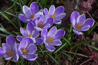 Purple striped crocus in bloom